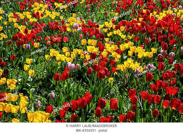 Field with red and yellow tulips (Tulipa sp.), Baden-Württemberg, Germany