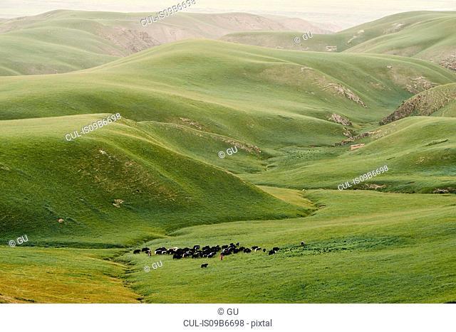 Herding cattle in green valley, Shandan, Gansu, China