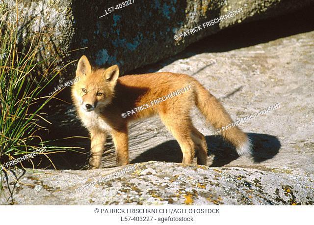 Red fox (Vulpes vulpes). Round Island. Alaska. USA