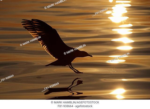 Herring gull Larus argentatus alighting on water at sunset  August 2009