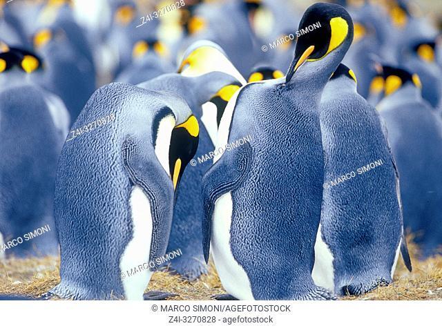 King Penguins (Aptenodytes patagonicus), East Falkland, Falkland Islands, South America