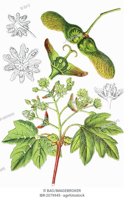 Field maple (Acer campestre), medicinal and useful plant, chromolithograph, 1881, historical illustration