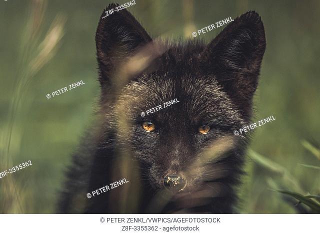 A black colored red fox baby (Vulpus vulpus). Yukon Territory, Canada