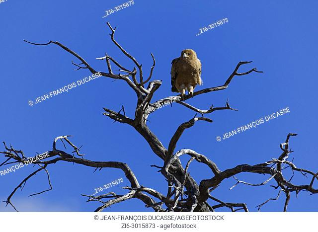 Tawny eagle (Aquila rapax) sitting on the top of a tree, against a blue sky, Kgalagadi Transfrontier Park, Northern Cape, South Africa, Africa
