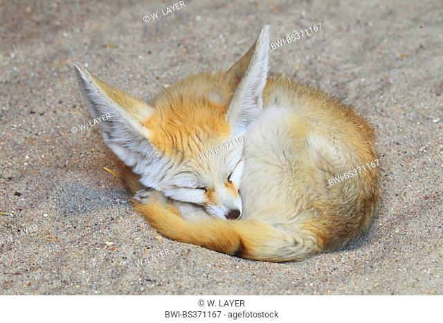 fennec fox (Fennecus zerda, Vulpes zerda), sleeeps rolled-up