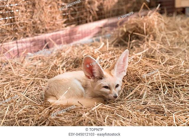 Fennec fox or Desert fox in farm