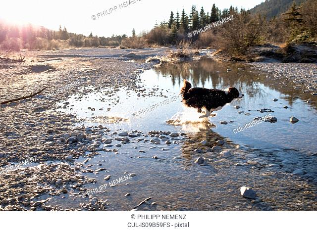 Dog running through water on lakeside in Bavarian Alps