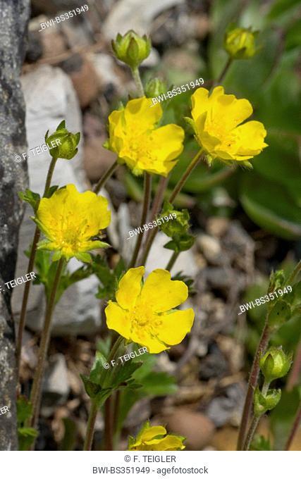 Alpine cinquefoil (Potentilla crantzii), blooming, Germany