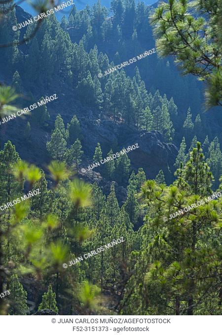 Canarian pine, Roque Nublo sacred mountain, Tirajana ravine, Gran Canaria Island, The Canary Islands, Spain, Europe