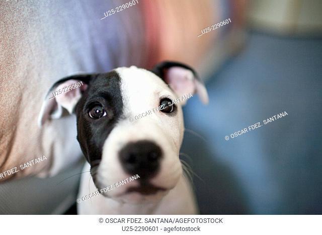 Dog puppy. American Stanford