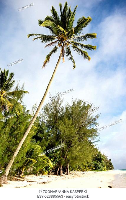Palm tree on south pacific island Rarotonga