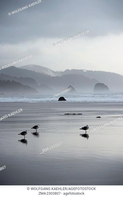 Gulls at low tide on Cannon Beach on the Northern Oregon Coast, USA