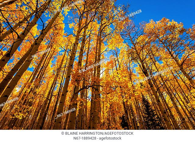 A grove of aspen trees in autumn, Kebler Pass, near Crested Butte, Colorado USA