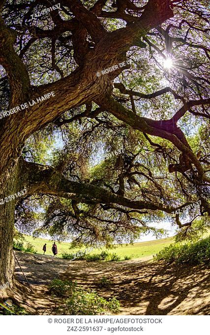 Apple-ring acacia, Ana tree, Balanzan tree and Winter thorn (Faidherbia albida syn. Acacia albida Delile) and Maasai warriors beneath it