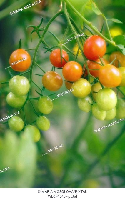 Cherry Tomatoes Growing in the Garden. Solanum lycopersicon. August 2007, Maryland, USA