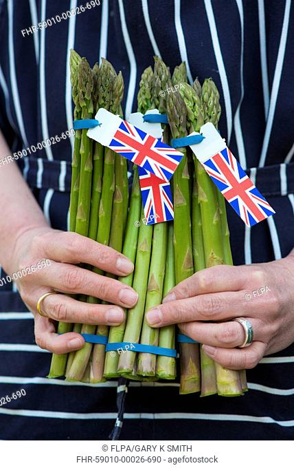 Asparagus (Asparagus officinalis) freshly cut spears, held by cook, England, April