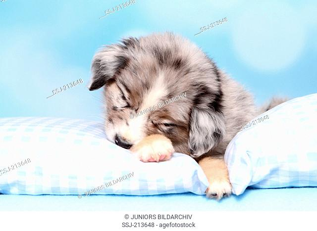 Miniature American Shepherd. Puppy (6 weeks old) sleeping on a cushion. Studio picture against a blue background. Germany