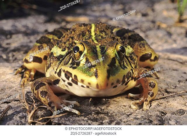 Hoplobatrachus Tigerinus. Indian bull frog. A large frog commonly found in paddy fields and near ponds. They feed on a variety of prey including insects