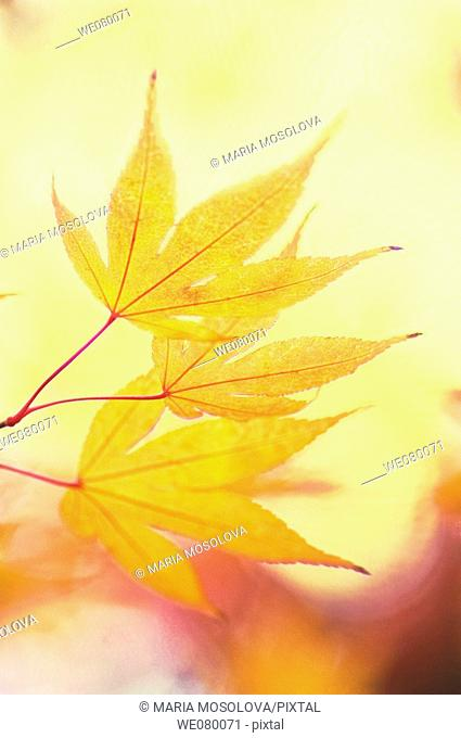 Yellow Japanese Maple Leaves. Acer palmatum. November 2007, Maryland, USA