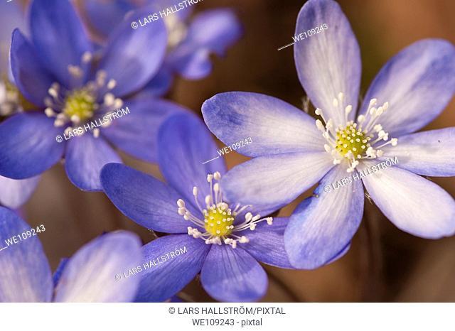 Liverwort Hepatica nobilis, Sweden
