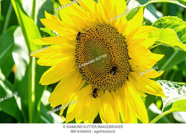 Sunflower (Helianthus annuus) with bees (Apis), Bavaria, Germany