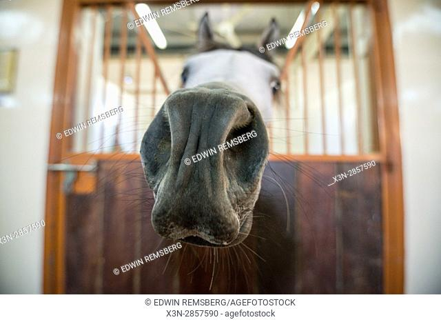 United Arab Emirates - Up close view of white Arabian Horse's nose at Sharjah Equestrian Club