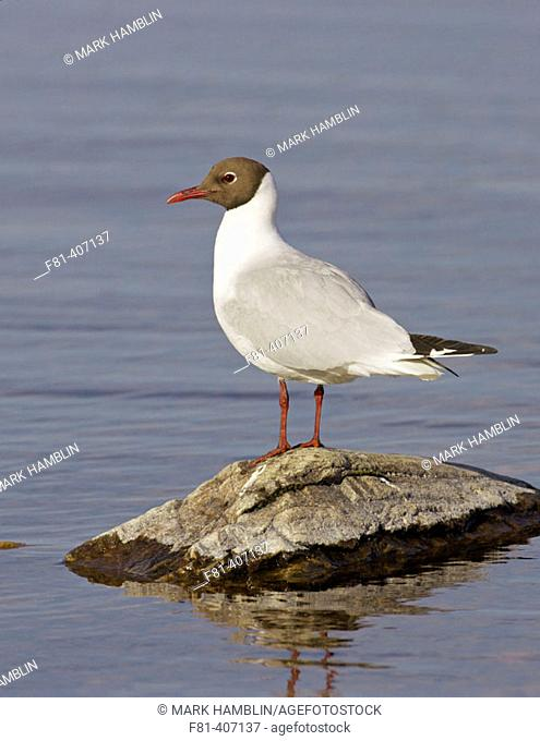 Black-headed Gull (Larus ridibundus) adult in breeding plumage perched on rock in lake. Scotland. UK
