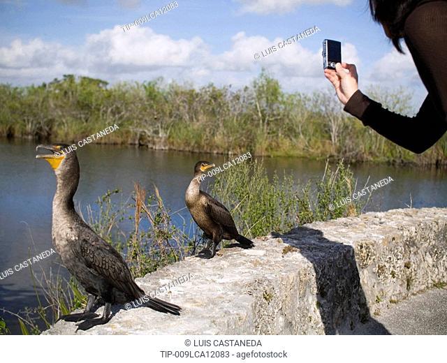 USA, Florida, Everglades, woman photographing Cormorants Phalacrocorax auritus