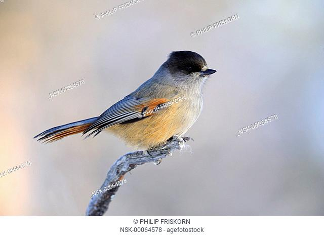 Siberian Jay (Perisoraus infaustus) on branch during wintertime, Finland, Lapland, Lapland