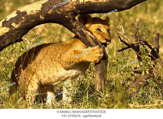 Lion cub, Masai Mara National Reserve, Kenya
