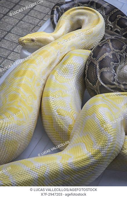 Snakes, for tourist souvenir photo, Floating Market, Bangkok, Thailand