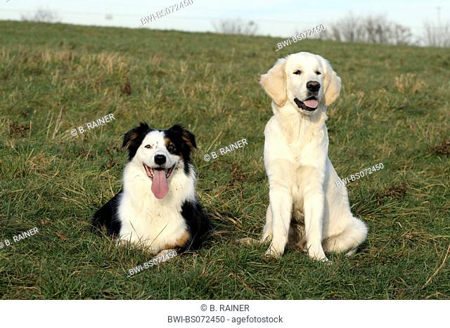 Golden Retriever (Canis lupus f. familiaris), Australian Shepherd and Golden Retriever puppy sitting side by side on meadow
