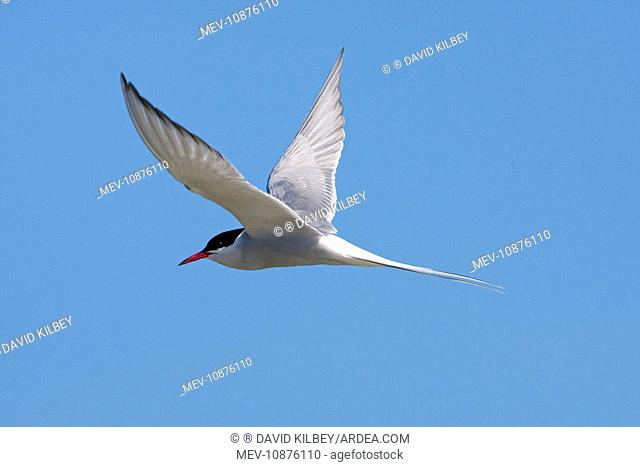 Arctic Tern - Single adult in flight, North Uist (Sterna paradisaea). Outer Hebrides, Scotland, UK