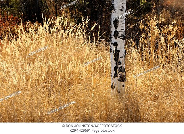 Autumn grasses and aspen tree Greater Sudbury Ontario