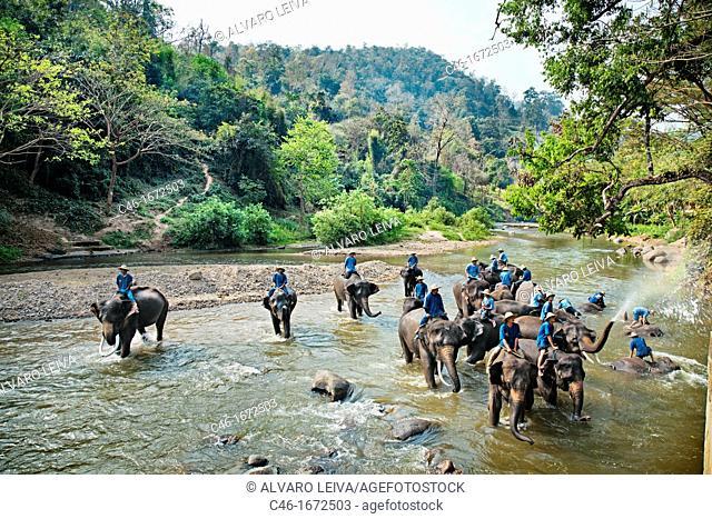 Elephants, Chiang Mai Province, Thailand