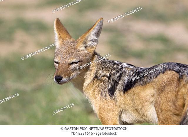 Black-backed Jackal (Canis mesomelas), Kgalagadi Transfrontier Park, Kalahari desert, South Africa/Botswana.