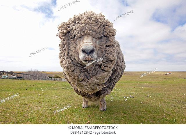 Falkland Islands , Pebble island , Domestic Sheep