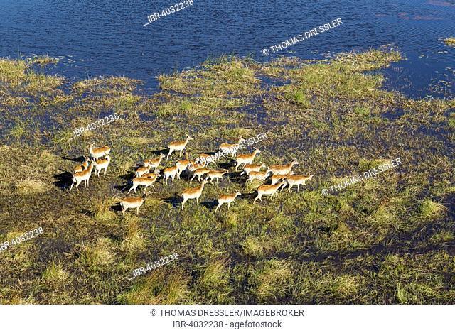 Red Lechwe (Kobus leche leche), roaming in a freshwater marsh, aerial view, Okavango Delta, Moremi Game Reserve, Botswana