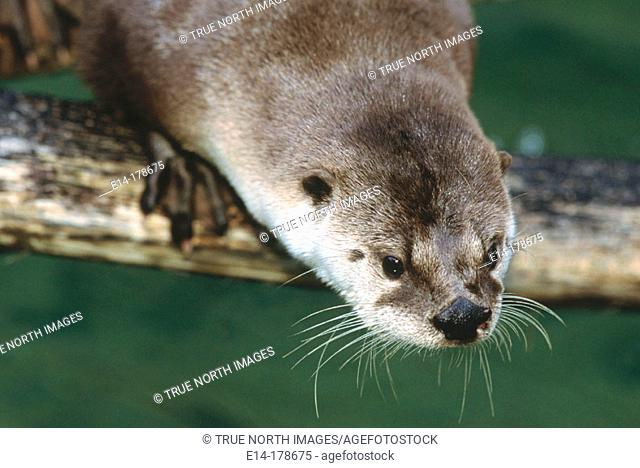Canadian River Otter (Lutra canadensis), captive