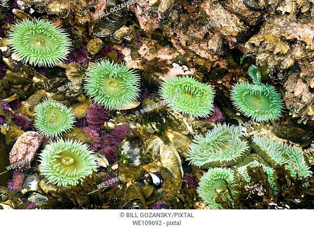 Sea Anemone - Salt Creek Recreation Area, Washington USA