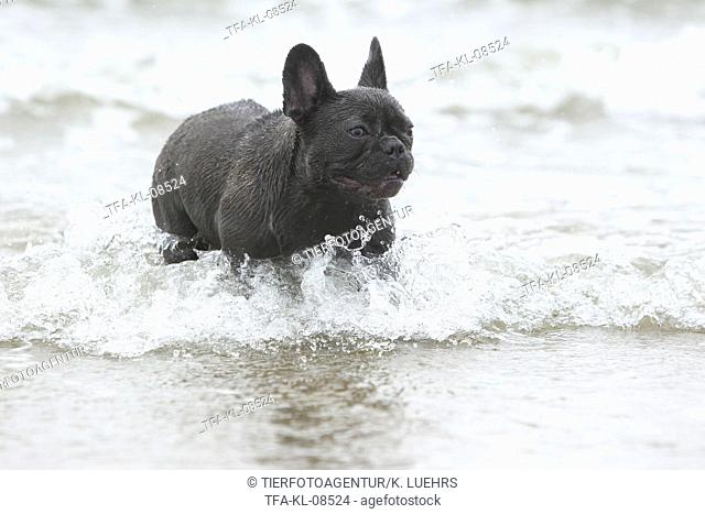 bathing French Bulldog
