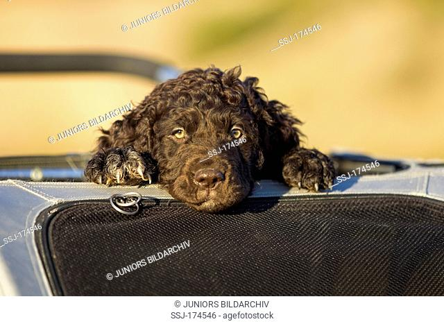 Irish Water Spaniel, Irish Water Spaniel. Puppy looking out from bicycle trailer