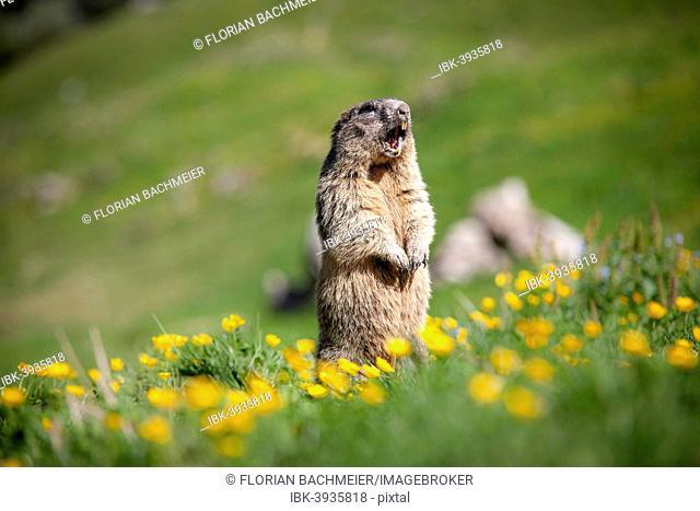 Alpine Marmot (Marmota marmota), Rotwand area, Kleintiefental Valley, Schliersee, Upper Bavaria, Bavaria, Germany