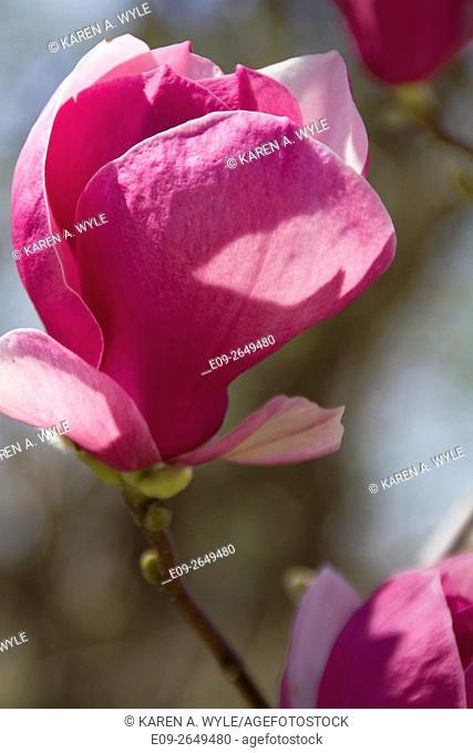 blossom on magnolia tree (possibly Jane Magnolia), springtime, Bloomington, Indiana