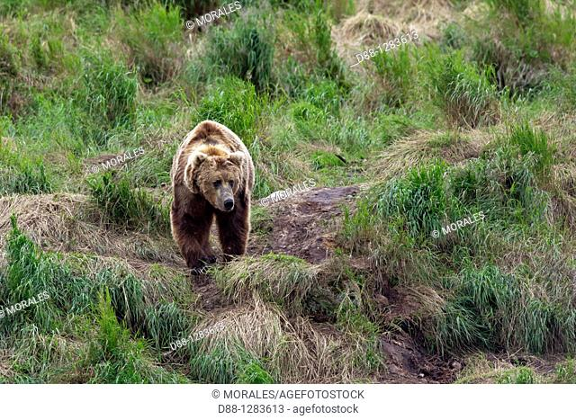 Alaska , Katmai National Park and Preserve , McNeil River Bear Viewing and Wildlife Sanctuary , falls of the Mc Neil river