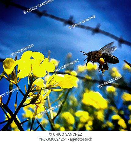 A honey bee flies over a yellow flower in front of a wired fence in Prado del Rey, Sierra de Cadiz, Andalusia, Spain