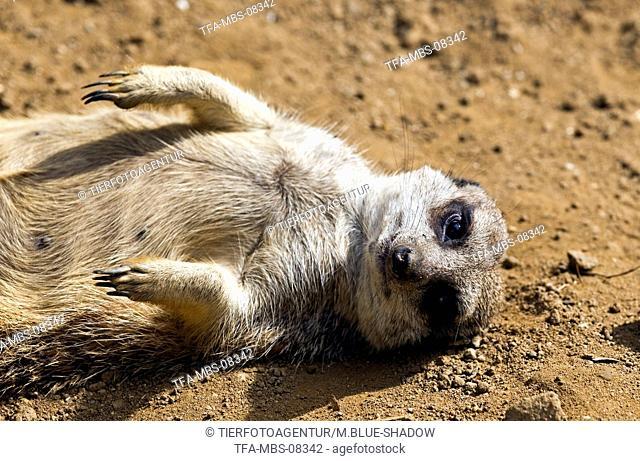 suricat