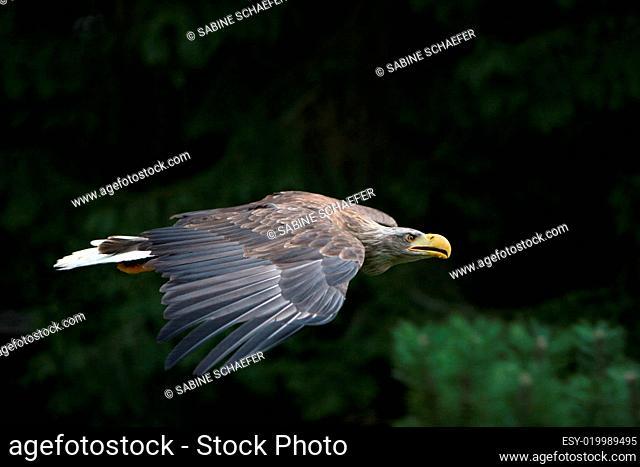europäischer Seeadler im Flug