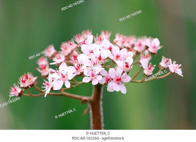 Umbrella Plant Darmera peltata Peltiphyllum peltatum Indian Rhubarb