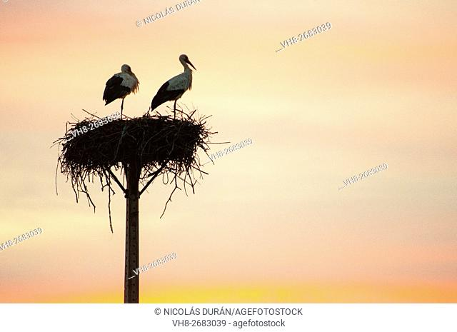 Sunset with couple of white storks in the nest. San Vicente de Alcantara. Province of Badajoz. Extremadura. Spain